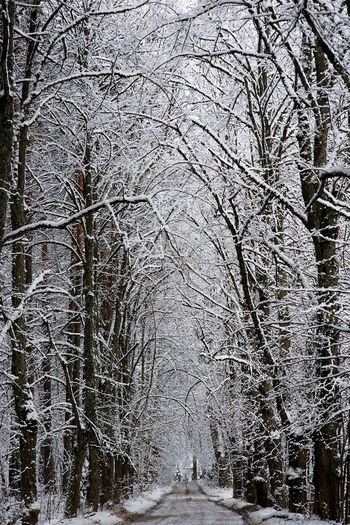 Alley Cold Cold Winter ❄⛄ Country Road Day Frost Landscape Landscape_Collection Latvia Morning Nature No People Outdoors Photo Wallpapers Route Skay Snow Snow On Branches Snow On Trees Snowing Sunlight Tree Winter Winter_collection Winterscapes