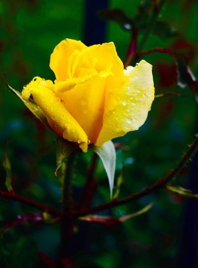 Yellow Flower Flower Flowering Plant Plant Fragility Beauty In Nature Close-up Rosé Yellow Nature Focus On Foreground Drop Petal Rose - Flower No People Beauty In Nature Flower Head Outdoors Nature Rosé