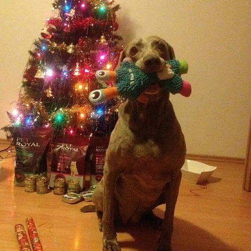 Dog Veimaraner Christmas Tree Christmastime Czech Republic