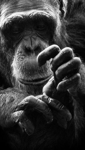 Animal Themes Animal Wildlife Animals In The Wild Ape Black Background Chimpanzee Close-up Day Gorilla Human Hand Indoors  Mammal Monkey One Animal One Person People Primate
