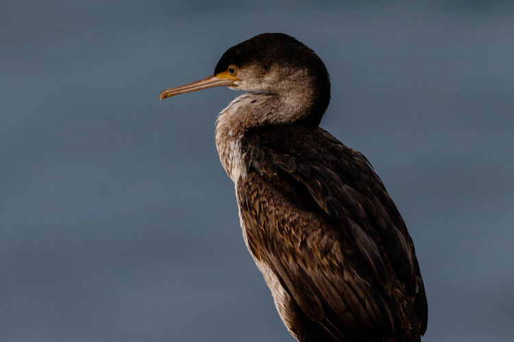 The spotted shag is a slim, medium-sized, grey-blue marine shag with a long, slender bill and yellow-orange feet. Adult breeding birds have small black spots on the pale silver-grey and brown back and wings, pale grey-blue underparts, and black thighs, rump and tail. A distinctive curved broad white stripe runs from above the eye down both sides of the neck, separating the black lines of the throat, pale silver-grey and brown back, and long neck to the base of the wing. White filoplumes grow diagonally from the black neck and thighs, and a distinctive black, decurved, double crest grows erect on the forehead and nape. Bare facial skin between the eye and bill turns green-blue before the breeding season. The eye ring is blue, the iris dark brown. and the long, slender, hooked bill orange-brown. Non-breeding adults are duller, lack crests, have a neck stripe obscured by dark feathers, yellowish facial skin, and paler underparts. http://nzbirdsonline.org.nz/species/spotted-shag Bird Nature Close-up Profile View Spotted Shag Aramoana Dunedin New Zealand Beak EyeEm Nature Lover