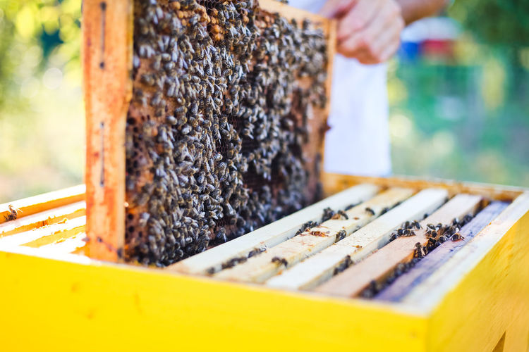 APIculture Agriculture Freedom HoneyBee Nature Propolis Work Bee Beekeeper Beekeeping Cluster Colony Frame Garden Golden Hour Healthy Honey Organic Outdoors Pollen Portrait Wax Young Adult