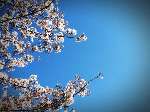 Flowers Spring Spring Flowers Nature_collection Blue Sky Sky White Flower Trees Naturelovers Nature