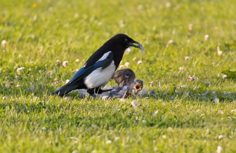 Magpie killing and eating a young fieldfare