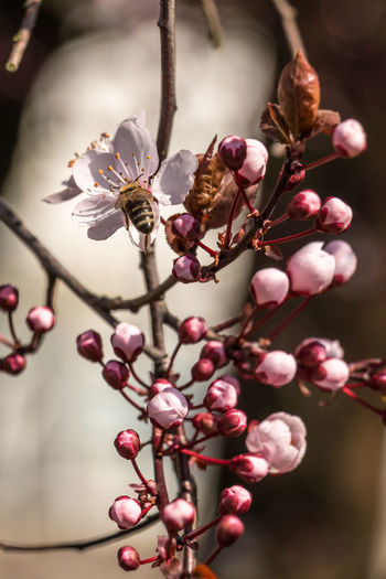 Bee on white blossoms on a tree on the green field Beauty In Nature Branch Close-up Day Flower Flower Head Focus On Foreground Fragility Freshness Growth Nature No People Outdoors Pink Color Plant Springtime Tree Twig