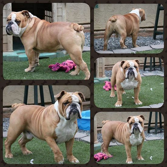 One of a Kind's Rocky Balboa, 18in, 75lbs and full of energy. Rocky is NOT open for public stud service, but we do have pups off his one and only litter with our Sydney. Oneofakindbulldogs Bulldogs Oldeenglishbulldogges OEB premierbreeder bulldogbreeder victorianbulldogs oebpuppies puppiesforsale bulldogpuppies