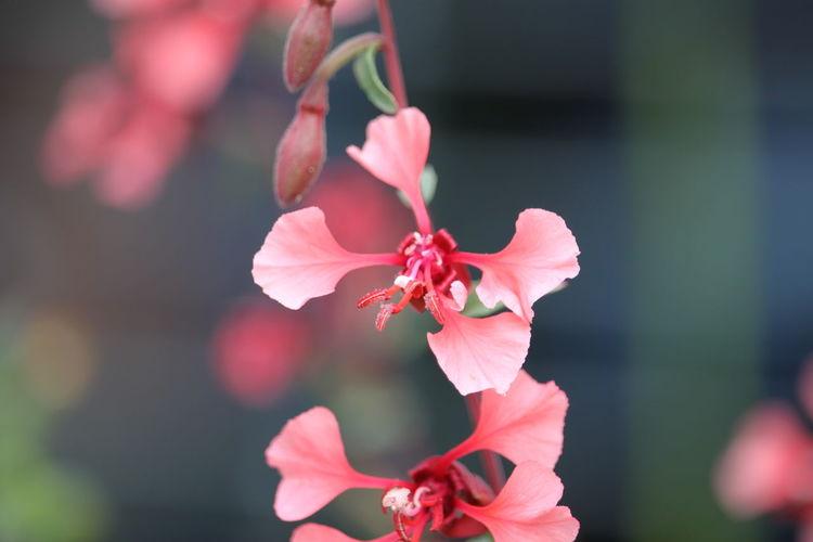 🇩🇪Germany ❤️Dortmund Nahaufnahme Flor Flor Rosada Flower Head Flower Hibiscus Pink Color Red Petal Close-up Plant