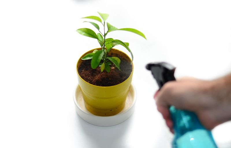 Cropped Hand Spraying Water On Potted Plant Over White Background