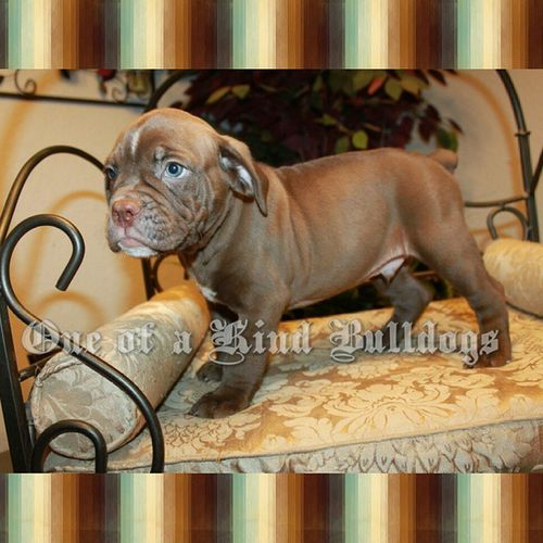Handsome chocolate male available. Please check our website for prices and availability, and for quickest guaranteed response please contact via email or phone. 1ofakindbulldogs Oneofakindbulldogs Oneofakind Oldeenglishbulldogges oldenglishbulldogs oldebulldogges bulldogs bulldog bulldogges oeb bullylife dogsofinstagram bulldogsofinstagram bulldogbreeder premierbreeder dogs followus followme follow4follow premierbreeder bulldogbreeder oebpuppies chocolatebulldogs victorianbulldogs 1ofakindbulldog dogs bulldogfarm igbulldogs bulldogpuppies puppies