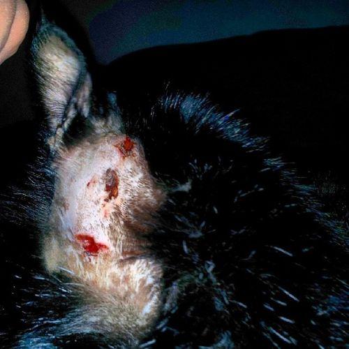Tarzan with his drain tube removed.. wounds are healing up nice.. Fightincat Vetbill Lovemykitty Meow
