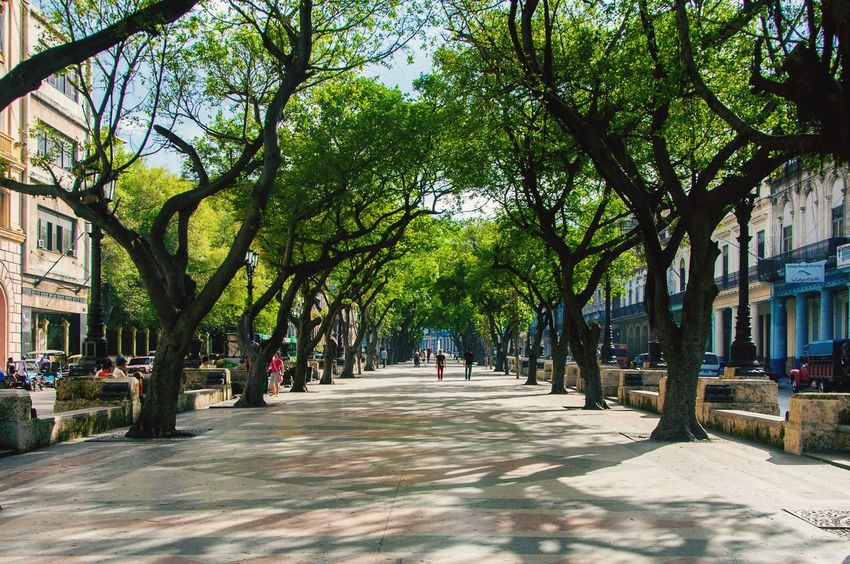 Tree Outdoors The Way Forward Nature Tree Trunk Growth Day City People Architecture Beauty In Nature Sky Havanna, Cuba