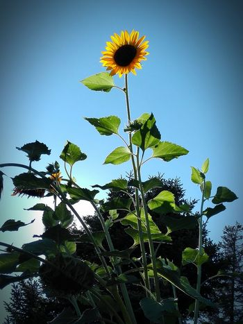 Nature Beauty In Nature Colour Of Life Sunflower Blue Sky Hanging Out Relaxing Enjoying Life Fine Art Tranquility No People Outdoors Eyeem Photo Mobilephotography