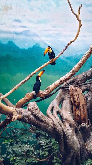 toucans. Exotic