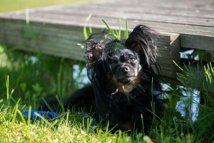 Black papillon dog sitting on field