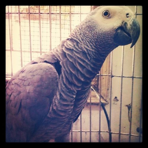 Berry :) Parrot AfricanGray Birds Pets animals petlove animalslove talkingparrot repeater cute fluffy feathers sweet flying wings