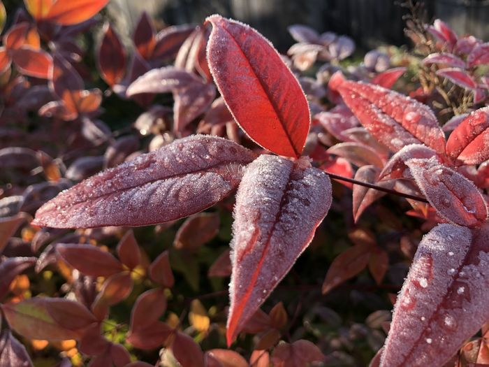 Close-up of wet red leaves on field