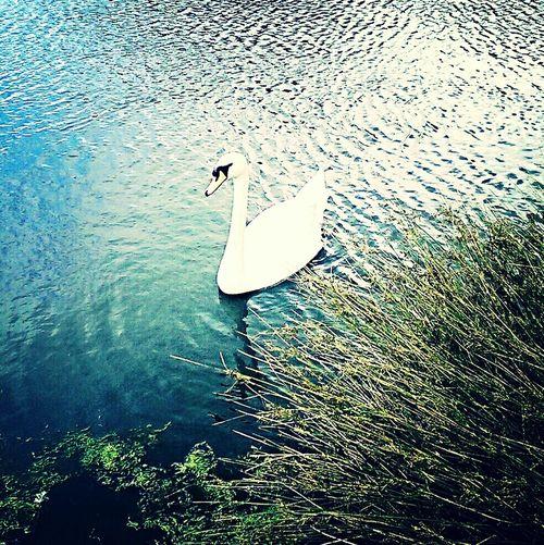 A nice swan