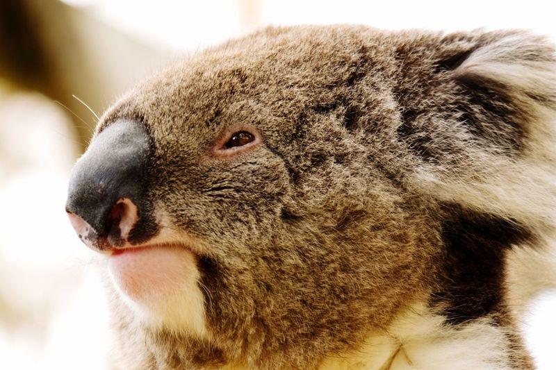 Close-Up Of Koala