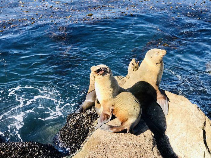 Sea lion, ocean, ocean creature, nature, animal, mammals, sealions