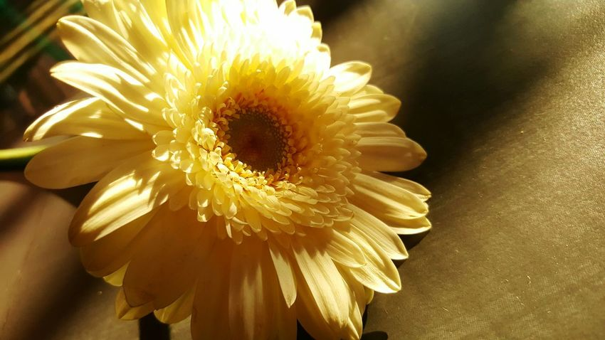 Flower Fragility Petal Close-up Flower Head Freshness Gerbera Transvaal Daisy No People Nature Beauty In Nature Day Sunlight S6edge