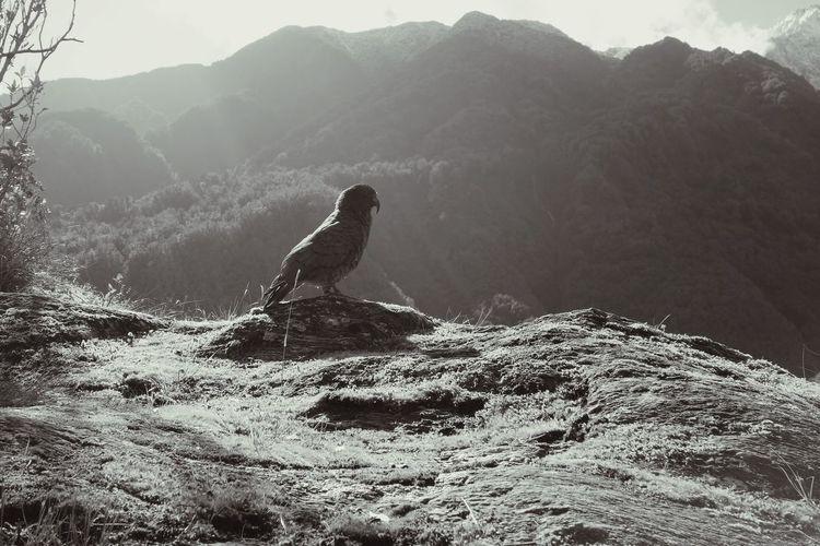 Side view of kea on perching on rocky landscape by mountain range