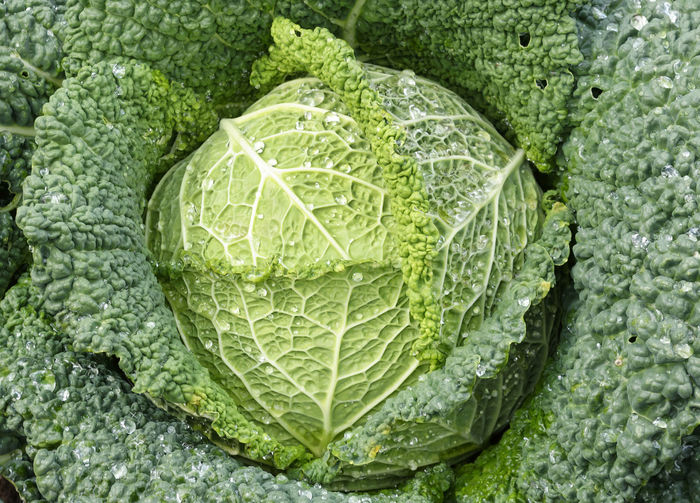 Backgrounds Brussels Sprout Cabbage Close-up Directly Above Food Food And Drink Freshness Full Frame Green Color Healthy Eating Leaf No People Organic Outdoors Savoy Cabbage Vegetable