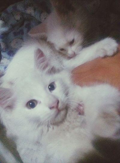 Milow y Clou necesitan un baño Angoracat