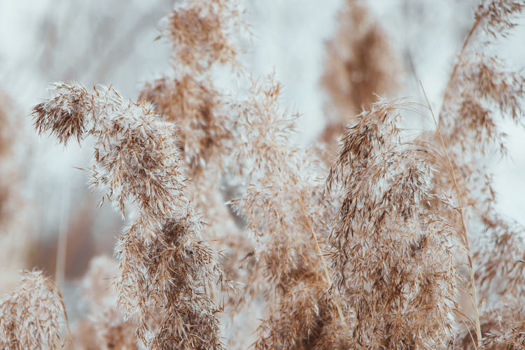 Close-up of dry plants on snow covered field