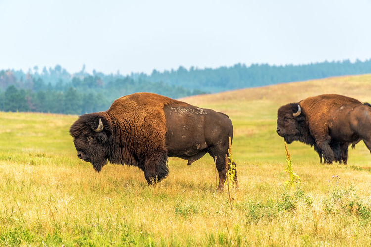 American bisons grazing on field