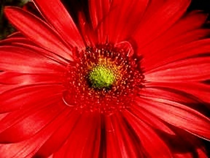 LOVE RED FLOWER Red Flowers Red Flower Red Flowers Flower Head Flower Red Petal Pollen Springtime Close-up Blooming Plant