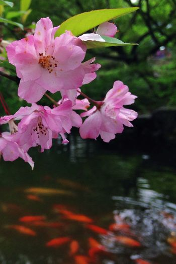 Hangzhou is an garden-like city where the ancient meets the modern. Peach Blossom Spring Flowers Golden Fish Water IPhoneography