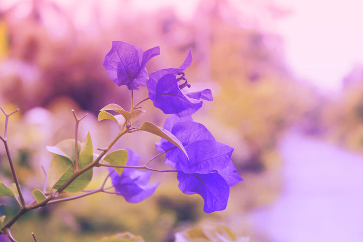 So refreshing to look at. Flowers,Plants & Garden Beautiful Flower Beauty In Nature Blooming Bougainvillea Bougainvillea Flower Close-up Day Flower Flower Collection Flower Photography Fragility Freshness Growth Nature No People Outdoors Petal Plant Violet Bougainvillea