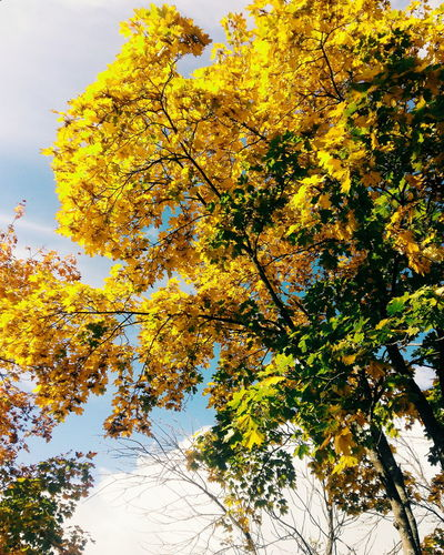 Tree Low Angle View Branch Yellow Growth Beauty In Nature Tranquility Scenics Nature Change Sky Day Green Green Color Tranquil Scene Blue Vibrant Color Outdoors High Section No People