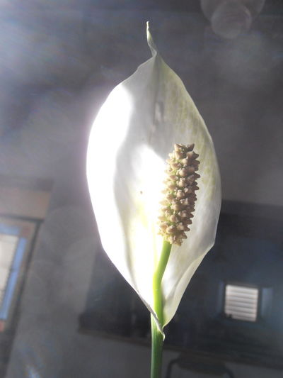A beam of light struck the flower and for a moment it lit up the room. Fragile Fragile Beauty Fleeting Moments Houseplant Cape Town Hout Bay South Africa Botany Botany Close Up Plants Flower White Flower Light And Shadow Close-up