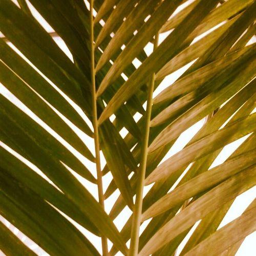 UnderTheShade Palmleaves Shade Theheatison Seekingshelter Mat Weave Dodgethesun Weaving Beatingtheheat Plantmoretrees Green Leaves MakesMeHappy STAYCOOL Keepcalm Summerof2014 Instaleaves Instagree Instaplants
