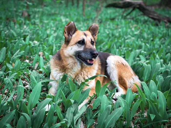 German shepherd in green plants growing in spring