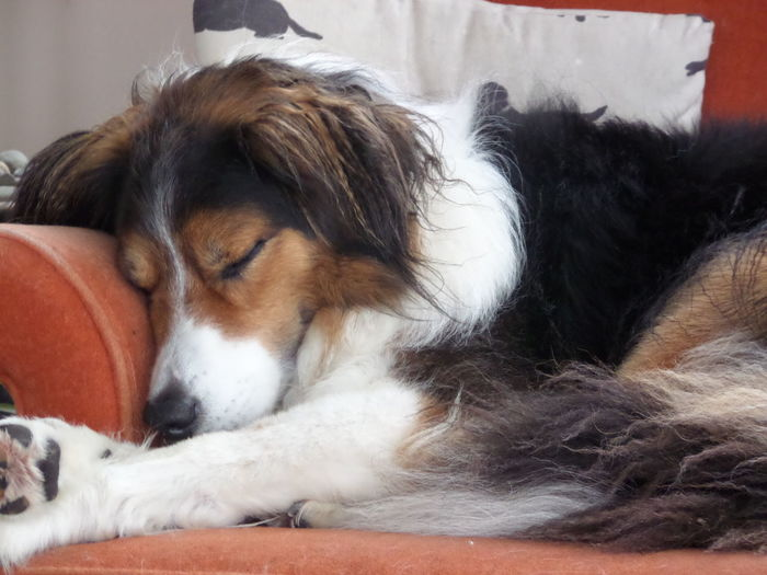 Relaxing Dog Pip Snooze After Walks