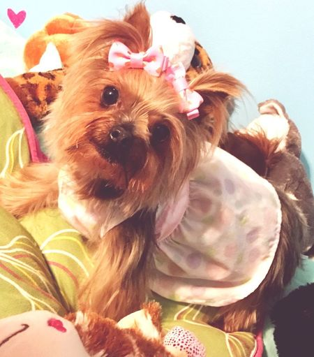 Yorkshire Terrier Dog Pets Domestic Animals One Animal Animal Themes Pet Clothing No People Looking At Camera Indoors  YorkieBestShots Yorkshire Terrier♡ Cute Pets Adorable Dog Style Pet Selfie Dog Selfie Dog Selfies Yorkies Yorkielove Adorable Precious
