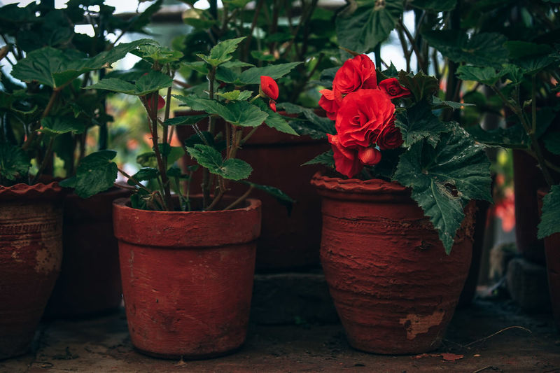 Vibrant Scarlet Flowers Scarlet Beauty In Nature Blooming Blossom Close-up Day Flower Flower Head Flower Pot Flowering Plant Flowers Focus On Foreground Fragility Freshness Growth Leaf Nature No People Outdoors Petal Plant Plant Part Potted Plant Red Vulnerability