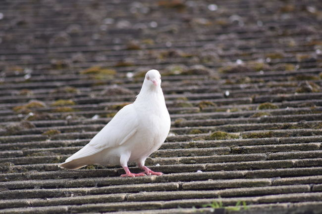 Animal Themes Animal Wildlife Animals In The Wild Bird Birds Close-up Day Nature No People One Animal Outdoors Perching Pigeon Pigeons