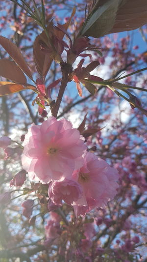 Tree Flower Flower Head Branch Springtime Pink Color Blossom Close-up Plant Cherry Tree Cherry Blossom Pollen In Bloom Petal Blooming