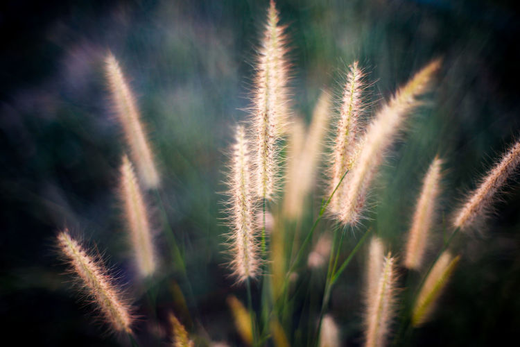 Plant Growth Nature Close-up Beauty In Nature No People Tranquility Freshness Crop  Agriculture Day Selective Focus Outdoors Summer Sunlight Focus On Foreground Grass Backgrounds Land Sky Timothy Grass