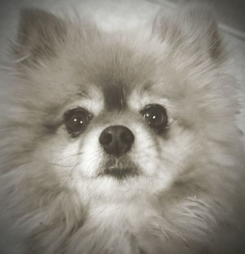 Mr. mean and ornery himself, my Pomeranian, Chuy... Lil dog with a huge Napoleon complex! My Dog Pomeranian Napoleon Inferiority Complex My Lil Stinker  I Love Dogs Dogslife Dog Lover Dog❤ Cute❤ Dog My Protector  Loyal Girls Best Friend Man's Best Friend He Hates Pictures Closeupshot