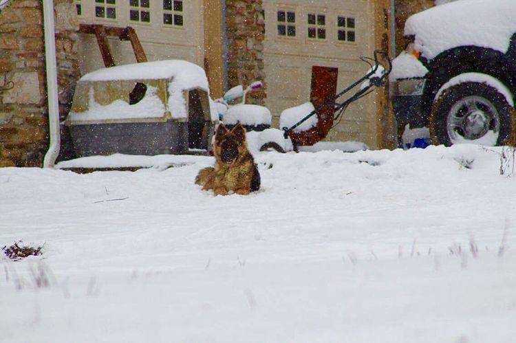 Snow Winter Cold Temperature Outdoors Snowing German Shepherd Dog