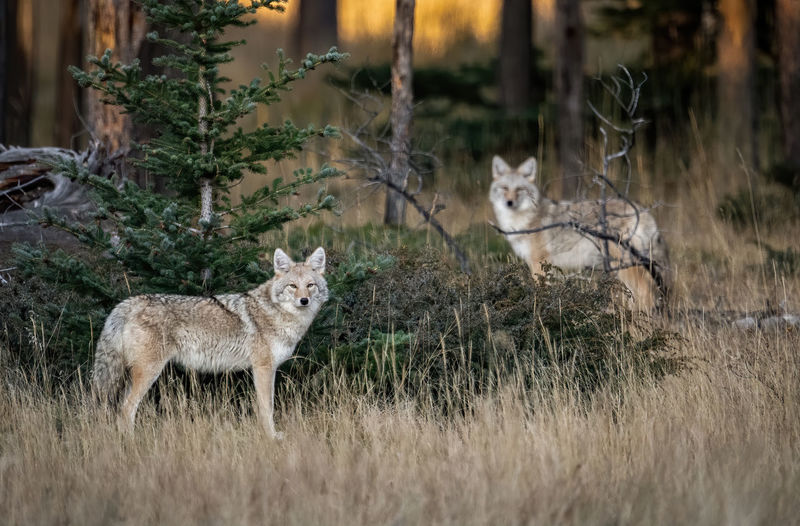 Wolf on grassy field in forest