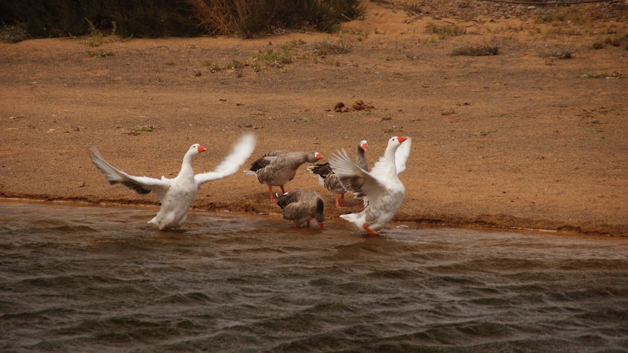 Geese on riverbank