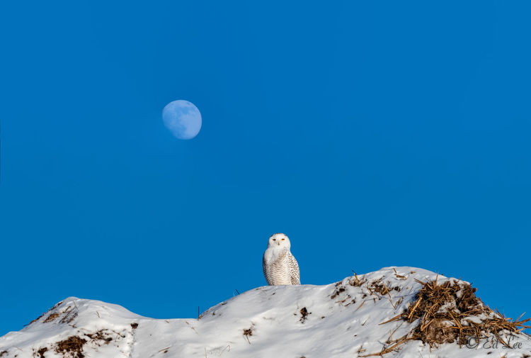 Snowy and the moon