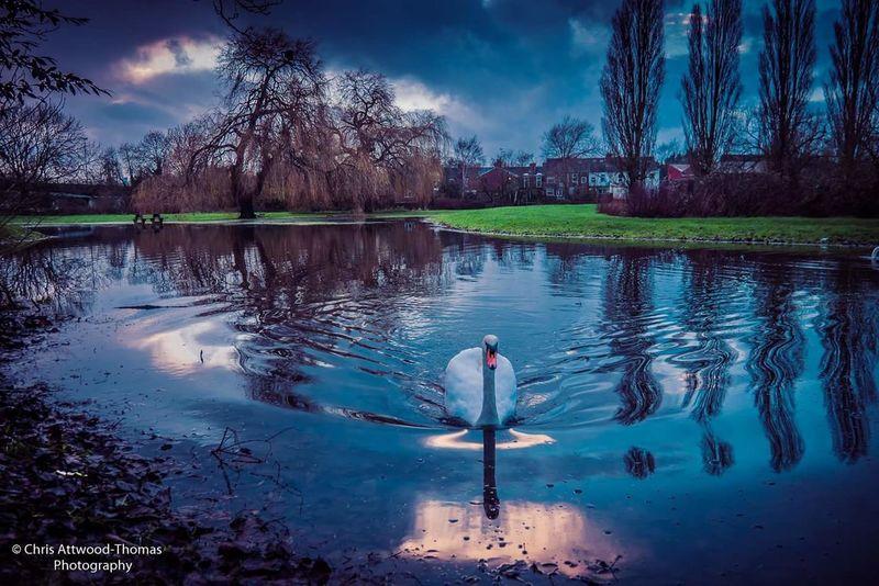 Gloucester Swan Sunset Lake
