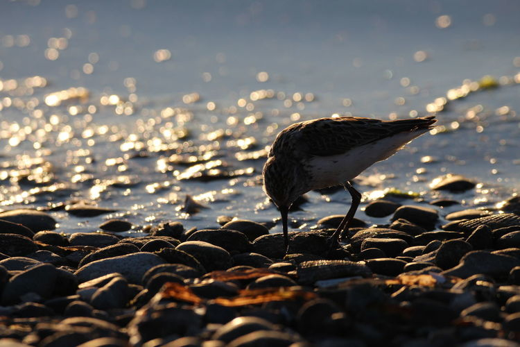 Close-up of seagull on rock at beach