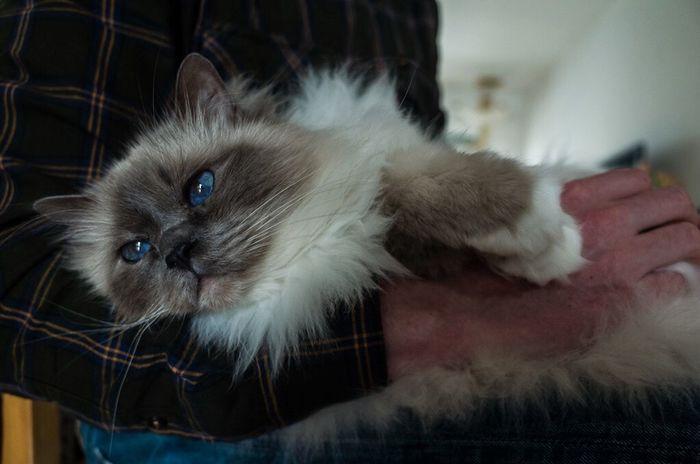Cat Sacredbirman Blue Eyes